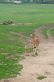 Giraffe in a Zoo. Walking adult giraffe and a young one Royalty Free Stock Images
