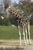 Giraffe. A giraffe in a zoo watching the visitors stock image