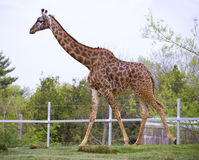 Giraffe in a zoo Stock Photography