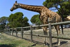 The giraffe Stock Images