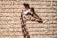 Giraffe looking right, rocky wall in the background, at the zoological park royalty free stock photos