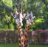 Giraffe zwei lizenzfreies stockfoto