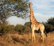 Giraffeaufmerksamkeit Stockbilder