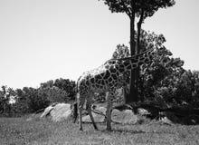 Giraffee готовя дерево на зоопарке Стоковое фото RF