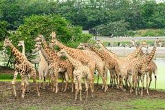 Giraffee Royalty Free Stock Image