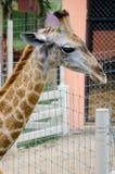 Giraffee Royalty-vrije Stock Fotografie