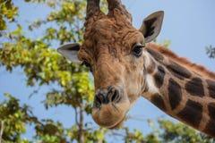 Giraffee drôle dans le safari de nuit de Chiangmai image libre de droits