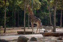 Giraffee et zèbre dans le safari de nuit de Chiangmai image libre de droits