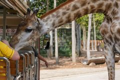 Giraffee i Chiangmai nattsafari royaltyfri bild