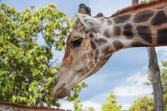 Giraffee i Chiangmai nattsafari arkivfoton