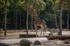 Giraffee och sebra i Chiangmai nattsafari royaltyfri bild