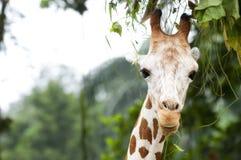 Giraffee que honra las hojas Imagen de archivo