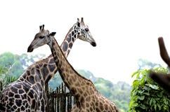 Giraffee. Showing a bond between the animals Stock Photo