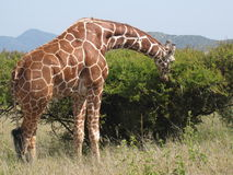 Giraffeessen. Lizenzfreies Stockfoto