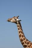 giraffeetandpetare Royaltyfria Foton