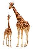 Giraffefamilie Stockfotos