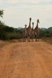 Giraffefamilie, die auf die afrikanische savana Straße geht Stockbilder