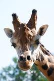 GiraffeHauptanstarren entlang der Kamera. Lizenzfreie Stockfotografie