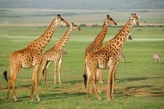 Giraffeherde stockbilder