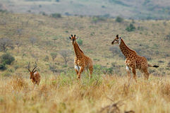 Giraffejunge und Impalamann Stockfoto