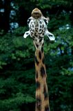 Giraffekopf Stockfotos