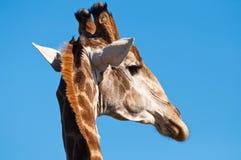 Giraffekopf Lizenzfreies Stockfoto