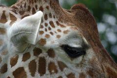 Giraffekopfabschluß oben Lizenzfreie Stockfotos