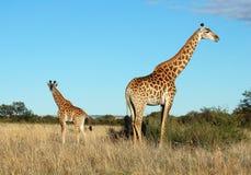 Giraffekuh und -kalb in Afrika lizenzfreies stockfoto