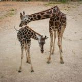 Giraffemutter und -schätzchen Lizenzfreies Stockfoto