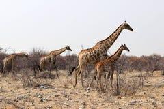 Giraffen с младенцем в сафари лотка etosha - Намибией Африкой стоковое изображение