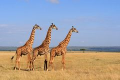 Giraffen 1 Lizenzfreies Stockfoto