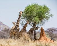 giraffen lizenzfreies stockfoto