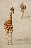 Giraffen Stockfotos