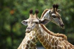 Giraffen Royalty-vrije Stock Afbeelding