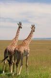Giraffen Stockfotos