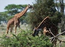Giraffen. Lizenzfreies Stockfoto