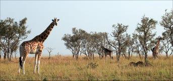 Giraffen. Stockfoto