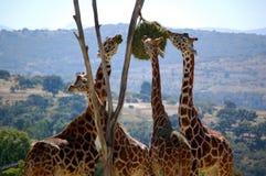 Giraffen stockfoto