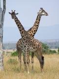 Giraffen Stockfotografie