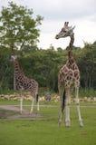 Giraffen Lizenzfreie Stockfotografie