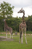 Giraffen Stock Afbeelding