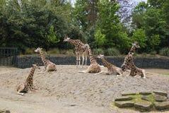 giraffen Stock Afbeeldingen