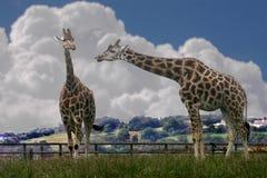 giraffen Stockbilder