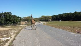 giraffen Lizenzfreie Stockfotos