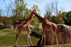 giraffen Lizenzfreies Stockbild