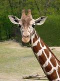 Giraffen Stock Foto