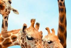 giraffen Royalty-vrije Stock Foto