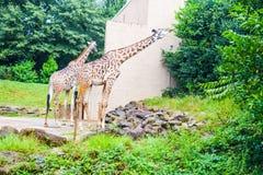 giraffen stockbild