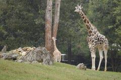 giraffen Royalty-vrije Stock Foto's