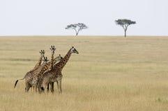 5 giraffen Stock Afbeelding